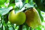 大阿太高原の梨