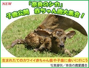 「奈良のシカ」子鹿公開 赤ちゃん鹿大集合!